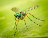 Long legged fly Stock Photos
