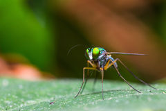 Long-legged fly Royalty Free Stock Photos