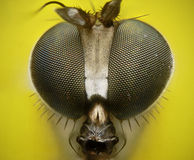 Long legged fly close up portrait Royalty Free Stock Images