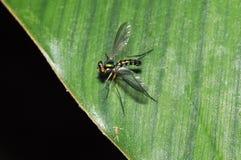 Long-legged Fly Dolichopodidae, Diptera Stock Photo