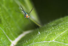 Long-legged fly (Dolichopodidae) flying Stock Photo