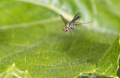 Long-legged fly (Dolichopodidae) flying Stock Photos