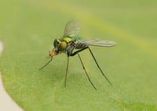 Long-legged fly. Feeding on a nymph Stock Image