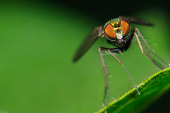Long-legged fly on a green background. Long-legged fly on a green leaf with a green and black background Royalty Free Stock Photos