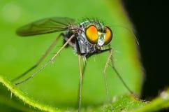 Long-legged Fly. Green Long-legged Fly on a Green Leaf Royalty Free Stock Photos