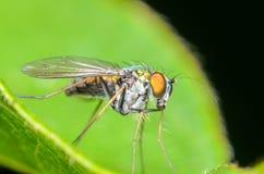 Long-legged Fly. Green Long-legged Fly on a Green Leaf Stock Images