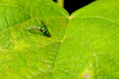 Long legged fly - metallic green Stock Photos