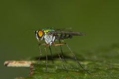 Long-legged fly Royalty Free Stock Photo