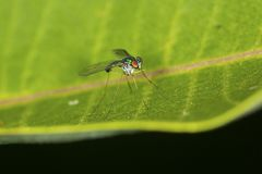 Long legged fly on a milkweed leaf in Vernon, Connecticut. Long-legged fly, probably a Condylostylus, order Diptera, on a milkweed leaf at the Belding Wildlife stock images