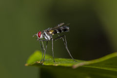 Long-legged fly. Small fly with slender long legs, fast flyer. Body length 5-6mm Stock Photo