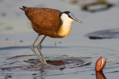 Long legged Jacana Royalty Free Stock Photo