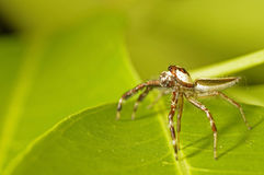 Long-legged jumping spider Royalty Free Stock Photos