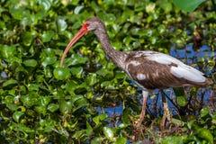 A Long Legged Juvenile American White Ibis Royalty Free Stock Photos