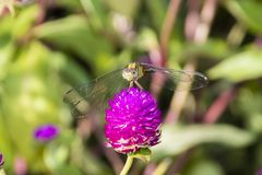 Long-legged marsh glider or dancing dropwing Trithemis pallidin. Ervis dragonfly from Kerala in South India royalty free stock photography