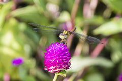 Long-legged marsh glider or dancing dropwing Trithemis pallidin. Ervis dragonfly from Kerala in South India stock images