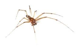 Long-legged spider Stock Photo