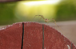 Long-legged spider. On a brown fence on defocused green yellow background Stock Photography