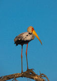Long Legged Yellow-Billed Stork in South Africa Stock Photos