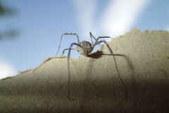 Long legs arachnid on a cardboard Stock Images