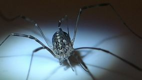 Long legs arachnid female stock video footage