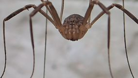 Long legs arachnid moving out stock video footage