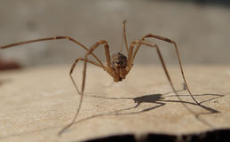 Long legs arthropod on a cardboard Royalty Free Stock Image