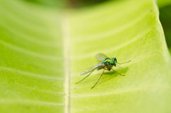 Long legs fly in green nature Royalty Free Stock Image