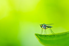 Long legs fly in green nature Stock Image