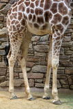 Long legs of Giraffe standing next to patterned stone wall Royalty Free Stock Images