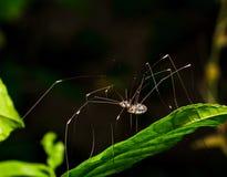 Long legs spider Stock Photo