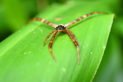 Long legs spider on a green leaf Stock Image