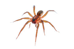 long legs spider isolated on white Royalty Free Stock Image