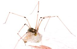 Long legs spider with may fly Stock Photography