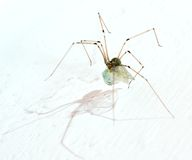 Long legs spider with may fly Stock Images