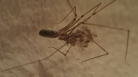 Long legs spider mother stock video