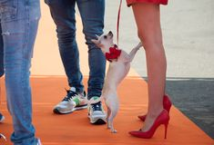 Chihuahua with red bow on the orange carpet. Long legs woman with red high heels, holds her little white dog Chihuahua on a leash royalty free stock photos