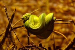 Green tree python on the branch stock photos