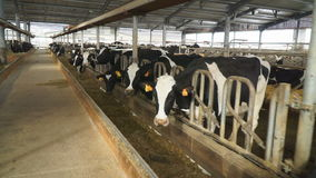 In a long light shed, many cows eat stock video footage