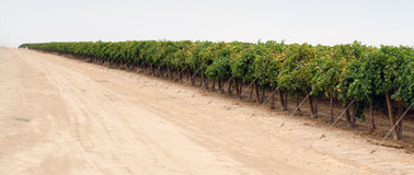 Long Line Raw Food Fruit Grapes California Farm Agriculture Stock Image