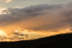 A long line of trees on a hill against a beautiful, warm sky at Stock Photos