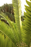 Long, linear leaves of a cycad in south Florida. Huge, linear, pinnate leaves of a cycad, Encephalartos, in south Florida Stock Photo