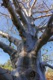 Long-lived native african tree baobab, Adansonia digitata in kib. Butz Ein-Gedi near Dead sea, Israel Royalty Free Stock Images