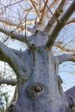 Long-lived native african tree baobab, Adansonia digitata in kib. Butz Ein-Gedi near Dead sea, Israel Royalty Free Stock Photos