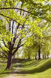 Long lived tree alley in the spring. Royalty Free Stock Photography