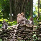 Long macaque coupé la queue dans la forêt de singe Photos stock