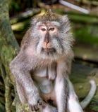Long macaque coupé la queue dans la forêt de singe Photos libres de droits