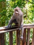 Long macaque coupé la queue dans la forêt de singe Images libres de droits
