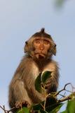 Long macaque suivi dans la cime d'arbre Photographie stock