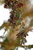 Long Monarch Butterfly Cluster. Monarch Butterfly Cluster at Natural Bridge State Park, California, United States stock photos