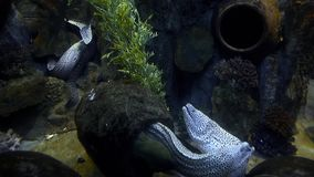 Long moray eels with open mouths living in their cave and swim around, moray in the sea, coral reef dwellers, underwater. Life, sea organism, predator stock footage